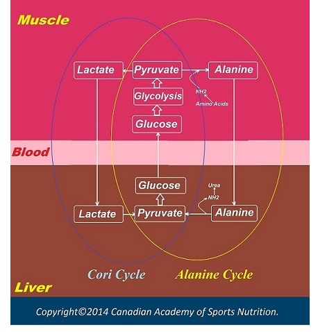 Alanine cycle 2 Canadian Academy of Sports Nutrition caasn