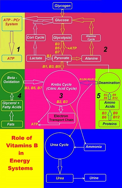 Causes of plateau 2 B Complex Canadian Academy of Sports Nutrition caasn