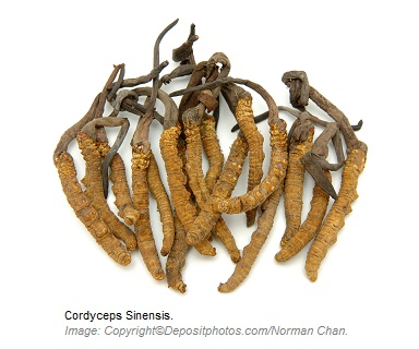 Cordyceps Sinensis Adaptogens 1 Canadian Academy of Sports Nutrition caasn