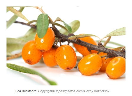 sea buckthorn caasn